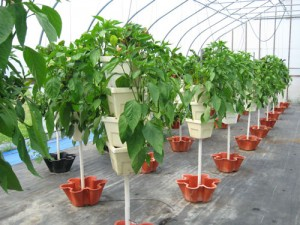 Sticks and Stones Greenhouse Peppers